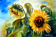 17-Sonnenblumen